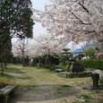 フジグラン近くの公園の桜