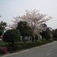 御舟川河口の緑道公園の桜