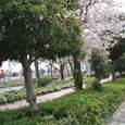 御舟川緑川公園の桜