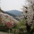 武丈公園 しだれ桜と赤い梅