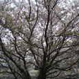 クラレの南側の川沿いの桜