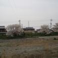 東中へいく道の川沿いの桜