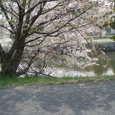 産業道路から海への川沿いの桜、御舟川緑道公園