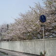 クラレ工場の壁から外に出ている桜