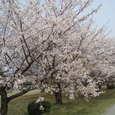 クラレ工場内の桜