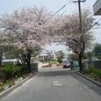 我が母校西条小の桜