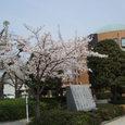 子どもの国の桜