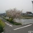 玉津小近くの川沿いの桜