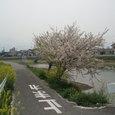 玉津小学校の近くにさく桜