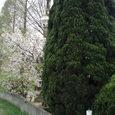 産業道路沿いの桜