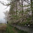 産業道路沿い、小さな川べに咲く桜