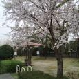 町の中の公園の桜