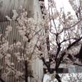 3月 彼岸桜が咲く町