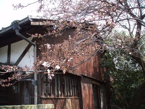 2008年 町内の桜