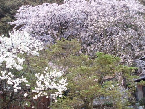 2008年4月葉桜の武丈で