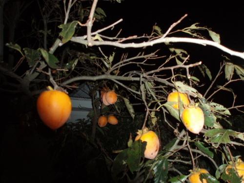 この季節になるとどこでも柿が家に生えています