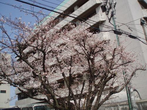 2008年 市役所近くの桜