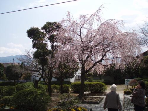 2008年名水公園(市役所前)の桜