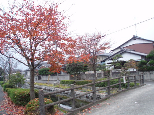 私の家の近くの桜並木もすっかり紅葉