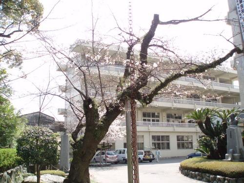 2008年 高校の構内の桜