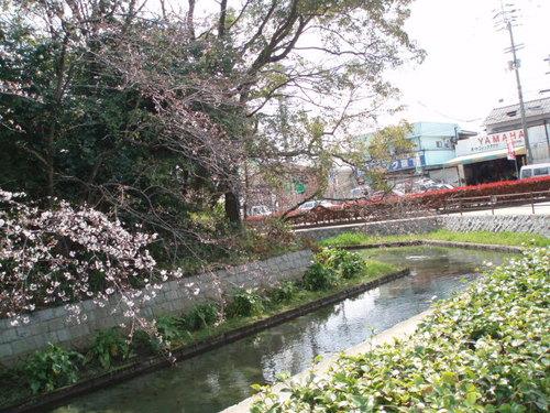 2008年 高校のお堀端の桜、まだ3分咲き