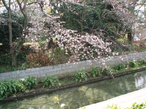 2008年 高校のお堀端の桜、まだ1分咲き