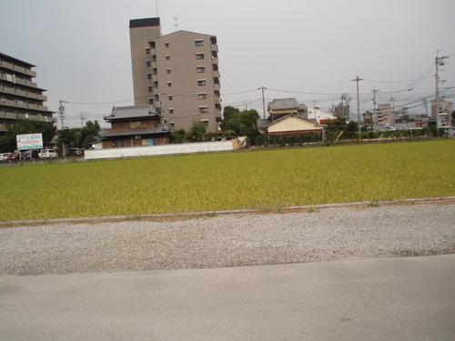 初秋 田んぼの稲