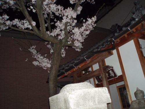 水の都の夜桜  誓願寺