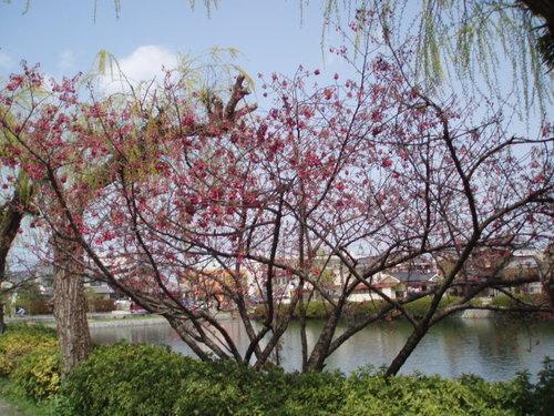 2008年お堀近くの桜