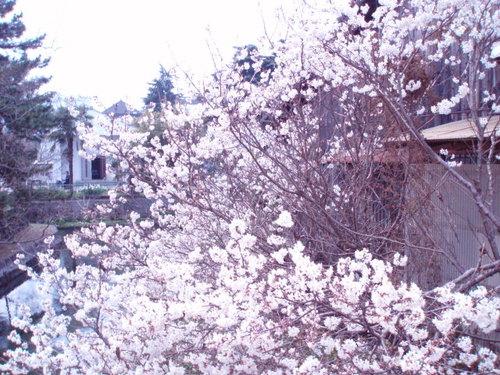 3月 お堀の周りの彼岸桜