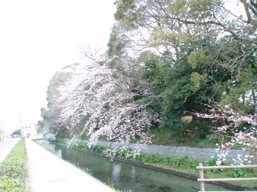 あまりにも神秘的なお堀の桜