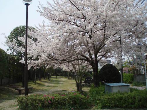 フジグラン近くの秋吉公園の桜