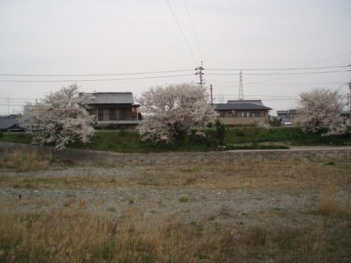 西条東中近くの川沿いの桜