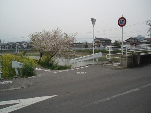 玉津 元橋の桜