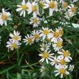 29、凡河内躬恒 心あてに折らばや折らむ初霜のおきまどわせる白菊の花