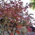 32、春道列樹 山川に風のかけたるしらがみは流れもあえず紅葉なりけり