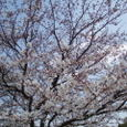 在原業平 世の中に絶えて桜のなかりせば春の心はのどけからまし