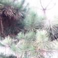 34、藤原興風 誰をかもしる人にせむ高砂の松も昔のともならなくに