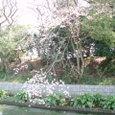 与謝野晶子   清水へ祇園をよぎる桜月夜 今宵会う人みな美しき