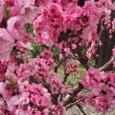 春の苑(その)、紅にほふ桃の花、下照る道に、出でたつ少女(おとめ)大伴家持
