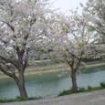 61 伊勢大輔 いにしへの奈良の都の八重桜けふ九重ににほひぬるかな