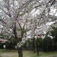 96 入道前太政大臣 花さそふ嵐の庭の雪ならでふりゆくものはわが身なりけり